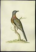 view Folder 61 Passenger Pigeon. Columba Migratoria. Length - 16 inches. digital asset: Passenger Pigeon