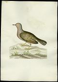 view Folder 63 Ground Pigeon. C. Passerina. Length - 7 inches. digital asset: Ground Pigeon