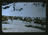 view Bighorn Sheep: Colorado, Wyoming, 1954 digital asset: Herd seen in vicinity of Jackson Hole, Wyoming, by Helmut K. Buechner, 1954. [Image no. SIA2014-00013]