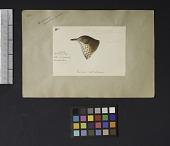view Robert Ridgway Bird Head Drawing #152 digital asset number 1