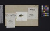 view Robert Ridgway Bird Head Drawing #170 digital asset number 1
