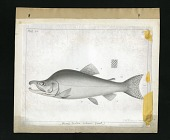 view Report on Salmonidae by George Suckley, Plate No. 1 digital asset number 1