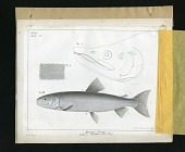 view Report on Salmonidae by George Suckley, Plate No. 2 digital asset number 1