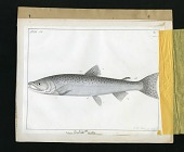 view Report on Salmonidae by George Suckley, Plate No. 6 digital asset number 1