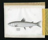 view Report on Salmonidae by George Suckley, Plate No. 7 digital asset number 1