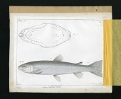 view Report on Salmonidae by George Suckley, Plate No. 8 digital asset number 1