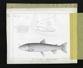 view Report on Salmonidae by George Suckley, Plate No. 9 digital asset number 1