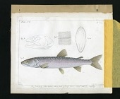 view Report on Salmonidae by George Suckley, Plate No. 10 digital asset number 1