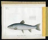 view Report on Salmonidae by George Suckley, Plate No. 11 digital asset number 1