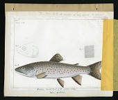 view Report on Salmonidae by George Suckley, Plate No. 12 digital asset number 1