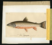 view Report on Salmonidae by George Suckley, Plate No. 13 digital asset number 1