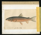 view Report on Salmonidae by George Suckley, Plate No. 14 digital asset number 1