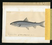 view Report on Salmonidae by George Suckley, Plate No. 15 digital asset number 1