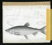 view Report on Salmonidae by George Suckley, Plate No. 16 digital asset number 1