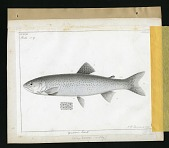 view Report on Salmonidae by George Suckley, Plate No. 17 digital asset number 1