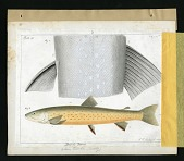 view Report on Salmonidae by George Suckley, Plate No. 18 digital asset number 1
