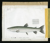 view Report on Salmonidae by George Suckley, Plate No. 19 digital asset number 1