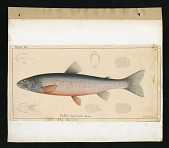 view Report on Salmonidae by George Suckley, Plate No. 20 digital asset number 1