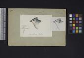 view Robert Ridgway Bird Head Drawing #285 digital asset number 1