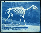 view Skeleton of Race Horse Lexington in Castle Yard digital asset number 1