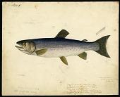 view Color Drawing of Salmonidae digital asset number 1