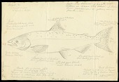 view Pencil Drawing of Salmonidae digital asset number 1