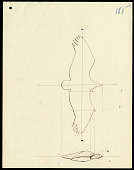 view Sketch of bird when its wings are extended in the attitude of flight digital asset number 1