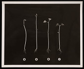 view Division of Radiation and Organisms - String Bean Plant Experiment digital asset number 1