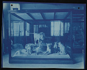 view Mammals Exhibits, Natural History Building - Lion Group digital asset number 1