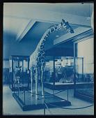 view Mammals Exhibits, Natural History Building - Giraffe digital asset number 1