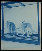 view Mammals Exhibits, Natural History Building - Kangaroo Group digital asset number 1