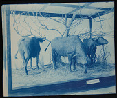 view Mammals Exhibits, Natural History Building - East African Water Buffalo Group digital asset number 1