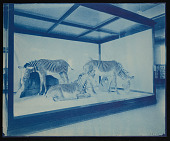 view Mammals Exhibits, Natural History Building - Grevy's Zebra Group digital asset number 1