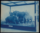 view Mammals Exhibits, Natural History Building - Square-Lipped Rhinoceros Group digital asset number 1