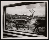 view Hall of North American Mammals, Natural History Building - Caribou Habitat Group digital asset number 1