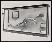 view Vertebrate Fossil Exhibit, Division of Paleontology, Natural History Building - Ceratosaurus digital asset number 1