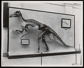 view Vertebrate Fossil Exhibit, Division of Paleontology, Natural History Building - Trachodon digital asset number 1