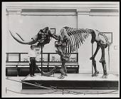 view Vertebrate Fossil Exhibit, Division of Paleontology, Natural History Building - Mastodon digital asset number 1