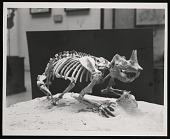 view Vertebrate Fossil Exhibit, Division of Paleontology, Natural History Building - Horned Gopher digital asset number 1
