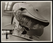 view Hall of Life in the Sea, Museum of Natural History - Blue Whale digital asset number 1