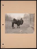 view National Zoological Park, Bactrian Camel digital asset number 1