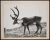 view National Zoological Park, Woodland Caribou digital asset number 1