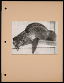 view National Zoological Park, Palm Civet digital asset number 1