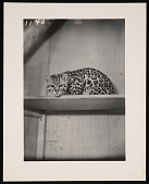 view National Zoological Park, Ocelot digital asset number 1