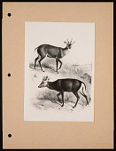 view National Zoological Park, Muntjac, Drawing digital asset number 1