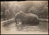"view National Zoological Park, Indian Elephant ""Dunk"" digital asset number 1"