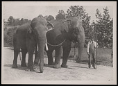 """view National Zoological Park, Indian Elephants """"Dunk"""" and """"Gold Dust"""" digital asset number 1"""