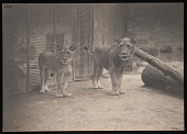 view National Zoological Park, Lions, Male and Female digital asset number 1