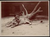 view National Zoological Park, Lion, Female digital asset number 1