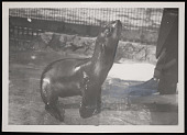 view National Zoological Park, Northern Fur Seal Pup digital asset number 1